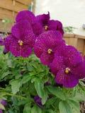 Purpere regenbloemen stock afbeeldingen