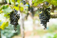 Purpere rode druiven met groene bladeren op de wijnstok, Verse vruchten royalty-vrije stock afbeelding