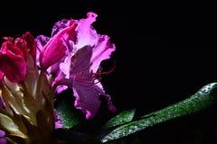 Purpere Rododendronbloem met uitgebreide meeldraad en dalingen van water op bloemblaadjes en bladeren die op de lentezon zonnebad Stock Afbeelding