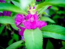 Purpere Rose Balsam Flowers Blooming stock foto