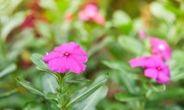 Purpere Rose Periwinkle in Bloemtuin stock afbeeldingen