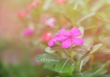 Purpere Rose Periwinkle in Bloemtuin stock fotografie