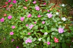Purpere Rose Periwinkle in Bloemtuin royalty-vrije stock afbeeldingen