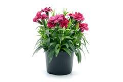 Purpere roze dianthusbloem in bloempot ingemaakt op witte isolat stock afbeeldingen