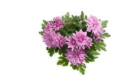 Purpere of roze die chrysantenbloemen op witte achtergrond worden geïsoleerd royalty-vrije stock foto's