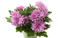 Purpere of roze die chrysantenbloemen op witte achtergrond worden geïsoleerd stock afbeelding