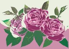 Purpere rozen Stock Fotografie