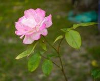 Purpere rozen in de zomerdag Royalty-vrije Stock Afbeeldingen