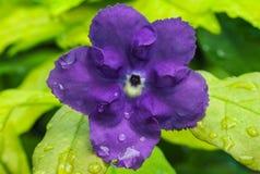 Purpere rubiaceae royalty-vrije stock afbeeldingen