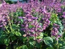 Purpere Salvia Stock Foto