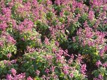 Purpere Salvia Stock Fotografie