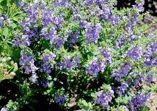 Purpere Salvia Flower Plants stock foto