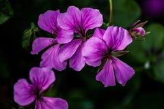Purpere Slepende Geraniums stock afbeeldingen