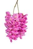 Purpere sophorabloem stock afbeelding