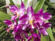 Purpere Spathoglottis-orchidee stock foto's
