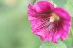 Purpere stokroos en bladeren, in de tuin royalty-vrije stock afbeeldingen