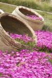 Purpere tonnen van bloemen Royalty-vrije Stock Fotografie
