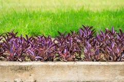 Purpere Tradescantia-pallidainstallatie in tuin Royalty-vrije Stock Fotografie