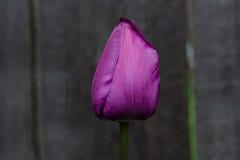 Purpere Tulip Oestre Stock Foto
