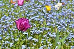 Purpere tulp Royalty-vrije Stock Afbeeldingen