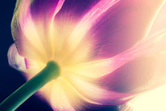 Purpere tulp met de gele macro van de kernclose-up De bloemblaadjes van purpere en gele tulp boren close-up op de zonlicht macroa Royalty-vrije Stock Afbeelding