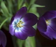 Purpere tulp tijdens lentetijd Royalty-vrije Stock Foto