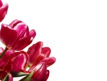 Purpere tulpen Royalty-vrije Stock Foto's