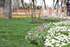 Purpere tulpen en madeliefjes, de lenteachtergrond stock fotografie