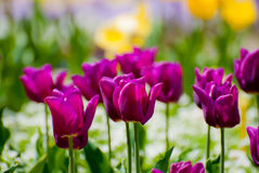 Purpere tulpen in tuin royalty-vrije stock afbeelding