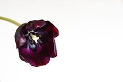 Purpere tulpenbloem Royalty-vrije Stock Foto's