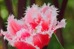 Purpere tulpenbloem Royalty-vrije Stock Foto