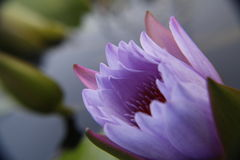 Purpere tulpenbloem Royalty-vrije Stock Afbeelding