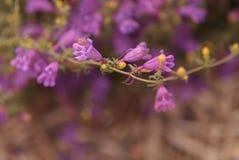 Purpere uitloper penstemon bloem royalty-vrije stock afbeeldingen