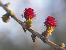 Purpere valse bloemen van lariksboom in de lente op vage achtergrond Stock Afbeelding