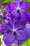 Purpere Vanda Orchid Stock Foto