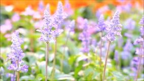 Purpere verse lavendel stock video