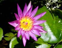 Purpere verse lotusbloem met geel binnen stuifmeel en een bij Stock Fotografie