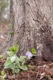 Purpere vincabloem met groene en witte bladeren en sneeuw Royalty-vrije Stock Fotografie