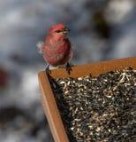 Purpere Vink die een de winter het voeden post in Algonquin bezoeken royalty-vrije stock fotografie