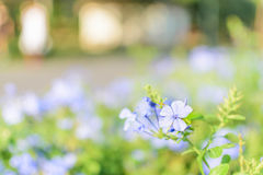 Purpere Violet Blue Flower Selective Focus Royalty-vrije Stock Afbeeldingen