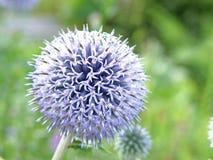 Purpere of violette bloem in tuin Stock Afbeelding