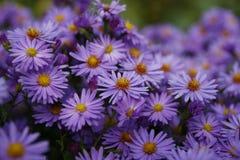 Purpere violette bloemen in aard Stock Afbeelding