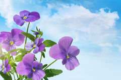 Purpere violette bloemen tegen een blauwe hemel Royalty-vrije Stock Fotografie
