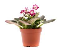 Purpere violette houseplant Stock Foto's