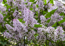 Purpere violette sering Stock Afbeeldingen