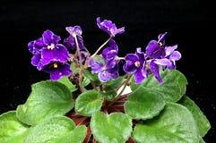Purpere viooltjes Stock Afbeeldingen