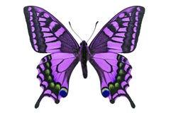 Purpere Vlinder stock afbeelding