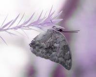 Purpere vlinder op een purper takje in infrared Stock Afbeeldingen