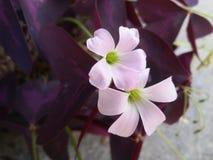 Purpere vlinderbloemen Stock Afbeelding