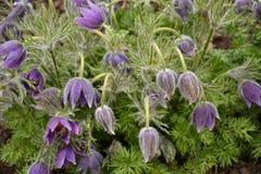 Purpere vulgaris Stock Foto's